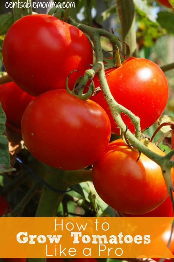 Check out these tips for tips on the best ways for how to grow tomatoes like a pro this summer - whether you grow them in your garden or a container.