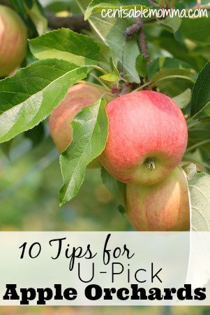 Headed out to pick apples? Check out these 10 Tips for U-Pick Apple Orchards first to make the most of your experience.