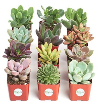 Mini Succulents (12 ct.): $20.39 (32% off) + FREE Shipping