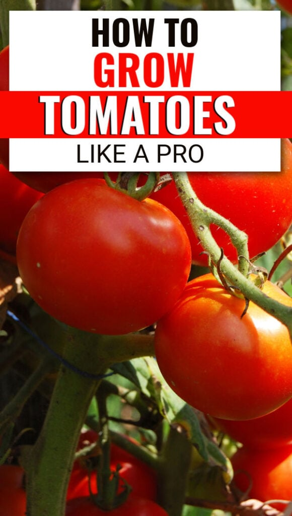 tomatoes on a vine (with text overlay).
